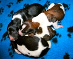 Solnyshko Puppies (07)