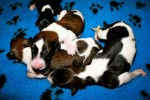 Solnyshko Puppies (4)