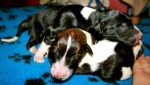 Solnyshko Puppies (5)