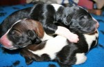 Solnyshko Puppies (6)