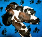 Solnyshko Puppies